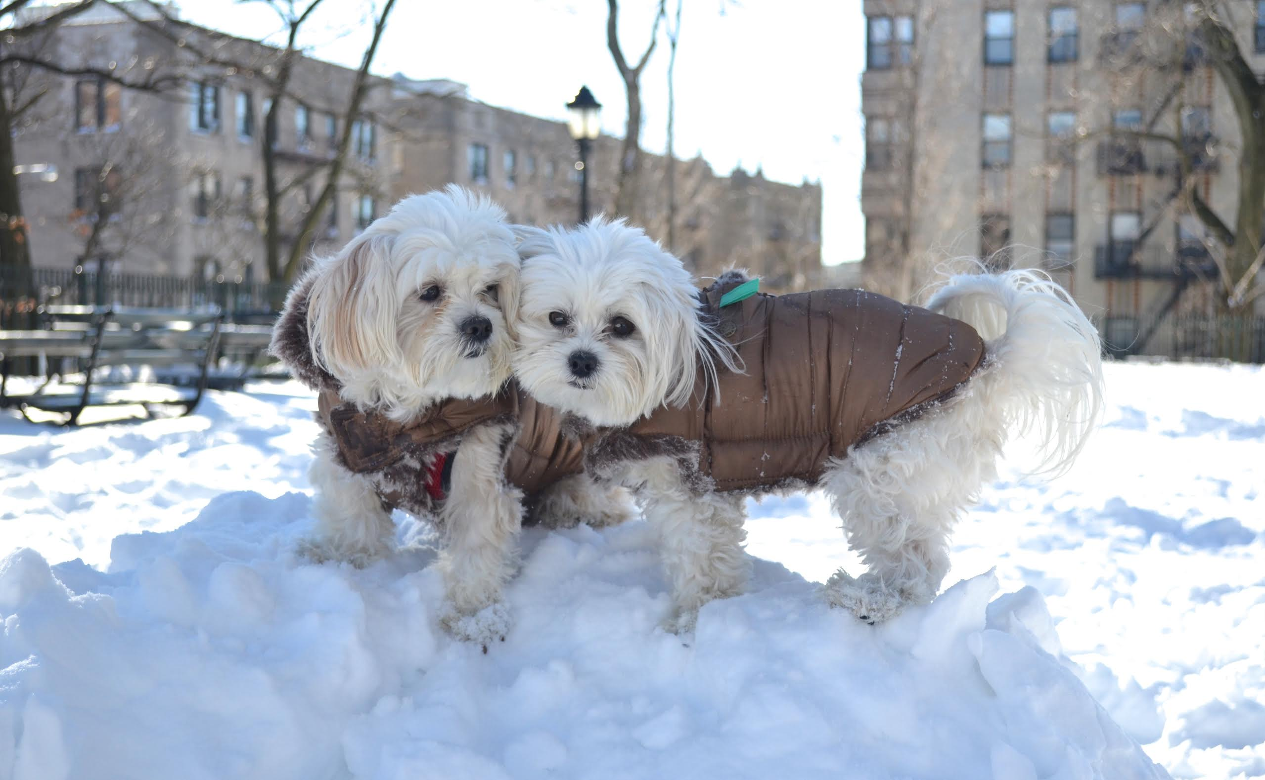 dogs snow coats