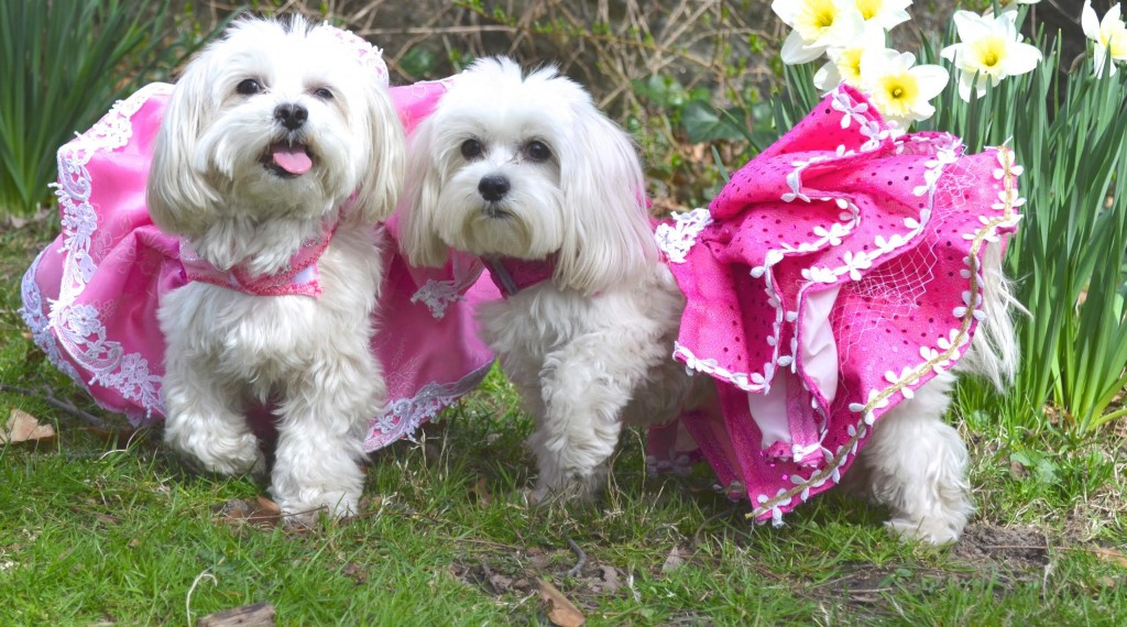 designer dresses for dogs