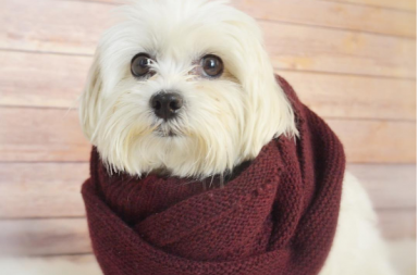 dogs wearing fashionable scarves for dogs